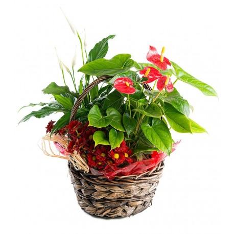 Cesta de Plantas con Anthurium