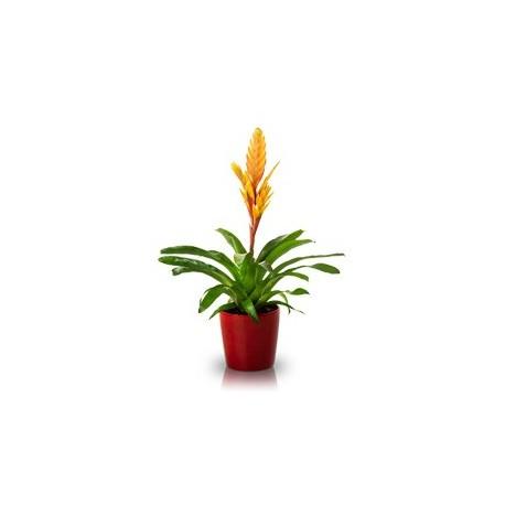 Bromelia Grande