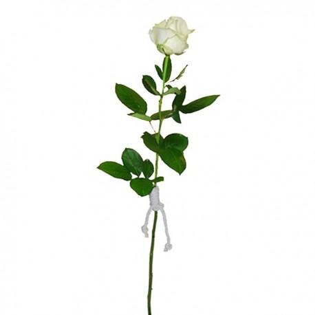 Rosa Blanca Tallo Largo