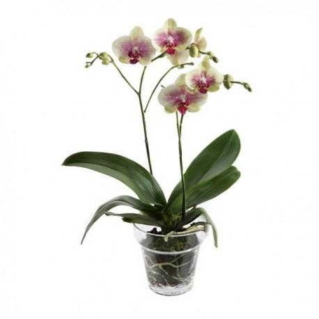 Orquidea variada con base de vidrio transparente
